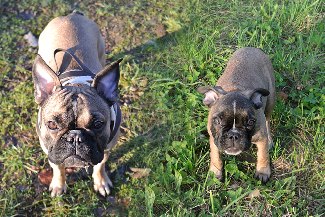 French Bulldog puppy grown