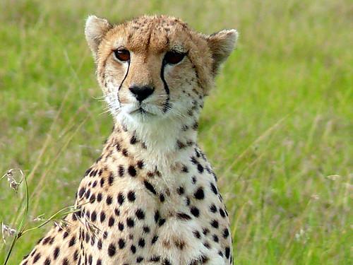 wild cheetah sitting in grass