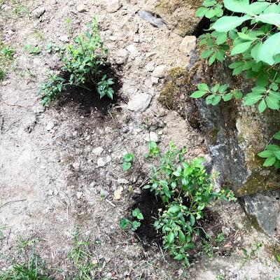 Kaksi Blue Crop -pensasmustikkaa istutettuna todennäköisesti liian kuivaan maahan