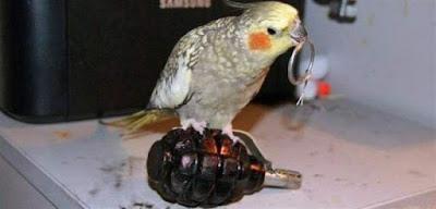 Lustige Tierbilder - Vogel zieht Stift aus Handgranate