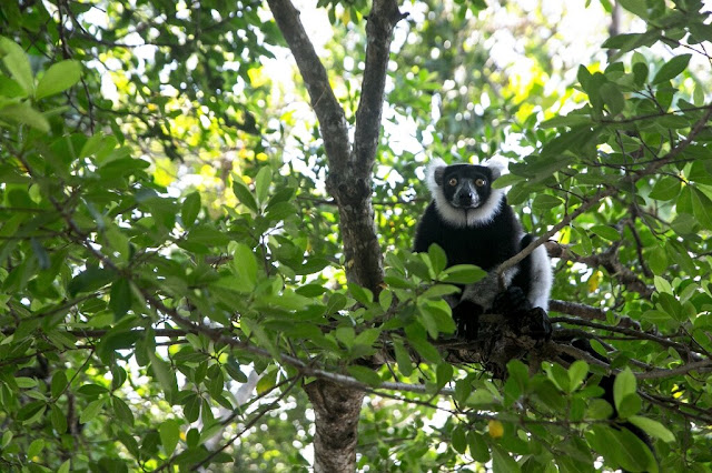 Nearly all Madagascar's lemur species 'face extinction'