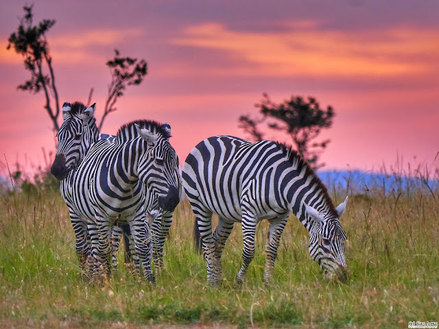 Zebras at Dawn