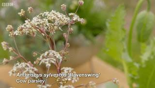 Anthriscus Ravenswing