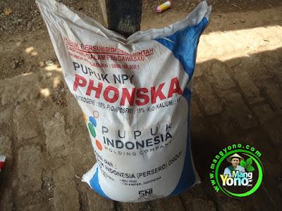 FOTO 6 :   Pupuk NPK Phonska untuk Tanaman Padi TRISAKTI 39 HST   di sawah Tegalsungsang Blok Timur.