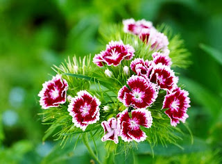 bunga anyelir, Carnation