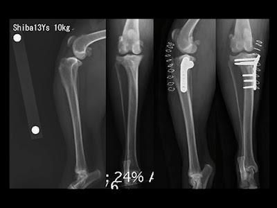 ruptura do ligamento cruzado em cães