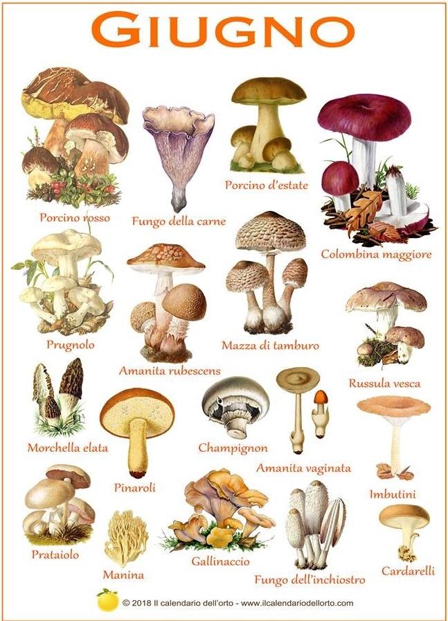 funghi che si trovano in giugno