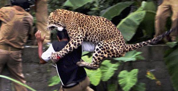 В Индии леопард заблудился в городе и начал нападать на людей