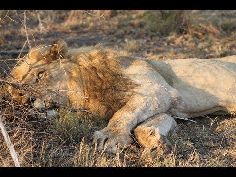 6 Ekor Singa Mati, Diduga Diracun