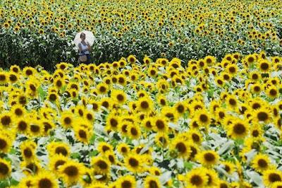اليابان تزرع منطقة فوكوشيماا بعد ضرب الزالزال 2011 محطات المفاعل النووى