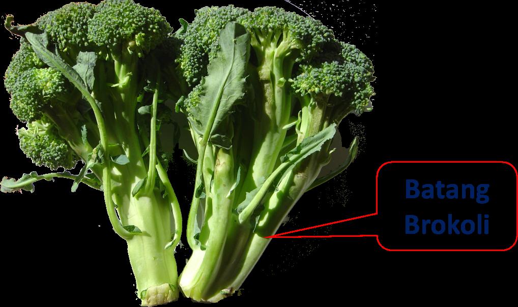 brokoli batang