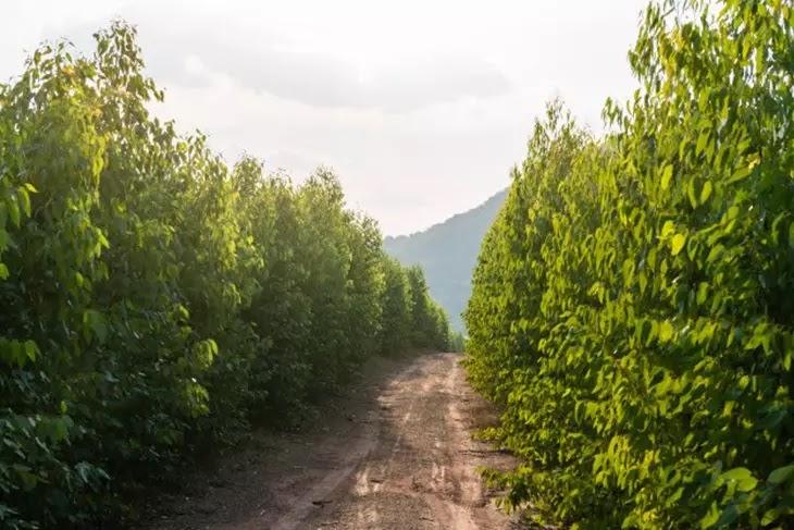 Árvores de Eucaliptos