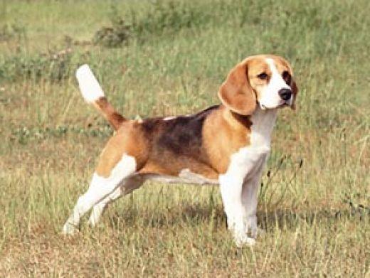 adult beagle for sale