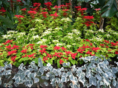 Allan Gardens Conservatory 2017 Christmas Flower Show poinsettias massed by garden muses-not another Toronto gardening blog