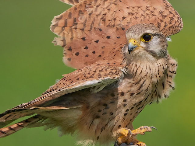 Female Kestrel Takeoff Closeup