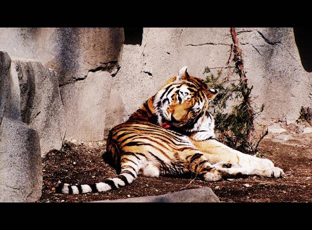 tiger at Brookfield Zoo
