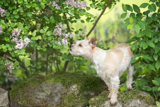 Companion Animal Psychology turns 8; terrier sniffs lilac flowers