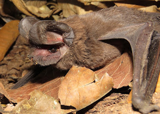 Nyctinomops macrotis, Big Free-tailed Bat