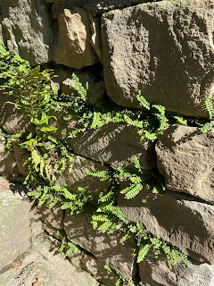 Maidenhair spleenwort in the botanical garden of Bergamo.