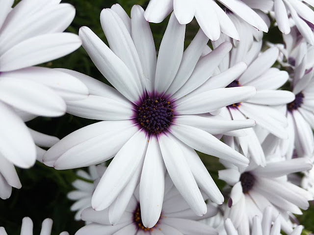 osteospermum-daisy-flower-white-purple-g