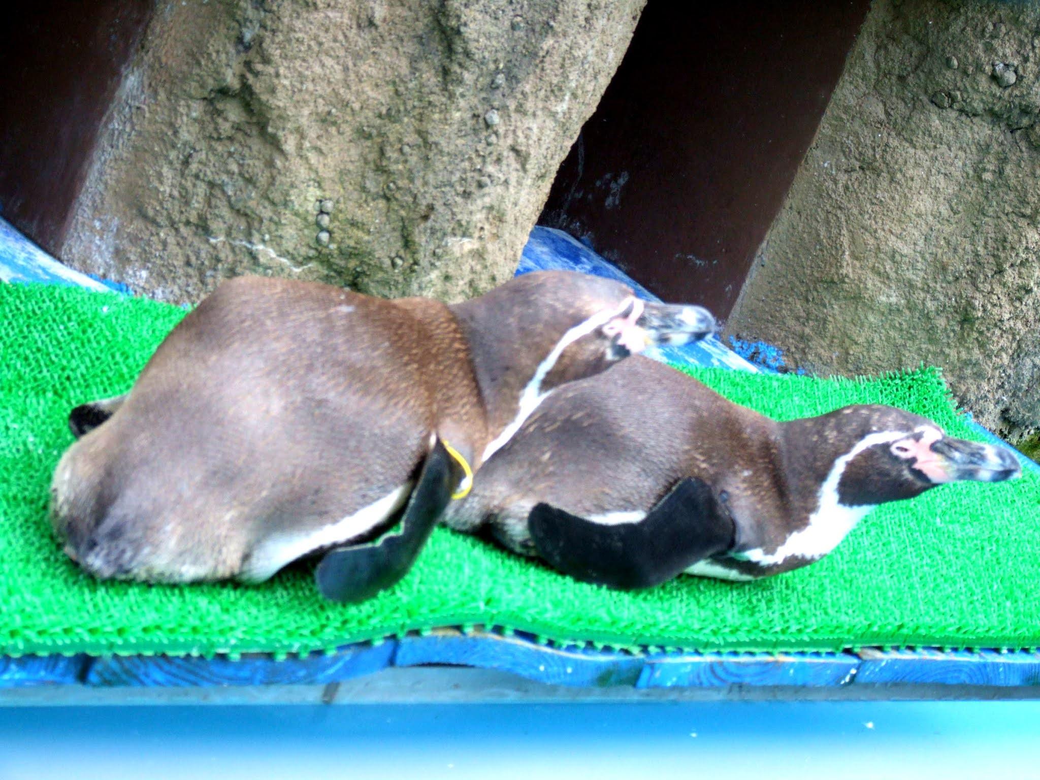 二匹仲良く折り重なって横たわって日向ぼっこしてくつろいでいる、可愛いペンギンさんの写真素材です。