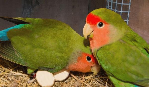 campuran pakan lovebird