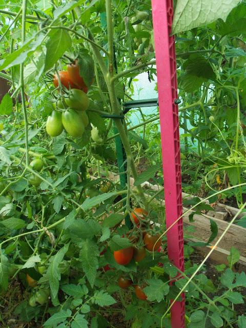 Les dangers du Tomato brown rugose fruit virus (ToBRFV)