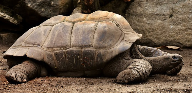 galapagos tortoise,galapagos tortoise for sale,galapagos tortoise lifespan,who charles darwin,charles darwin theory,charles darwin books,charles darwin quotes,charles darwin theory of evolution,charles darwin origin of species,charles darwin the origin of species,charles darwin facts,charles darwin evolution,charles darwin on evolution,galapagos islands,galapagos islands animals,galapagos islands cruise,galapagos islands weather,galapagos islands facts