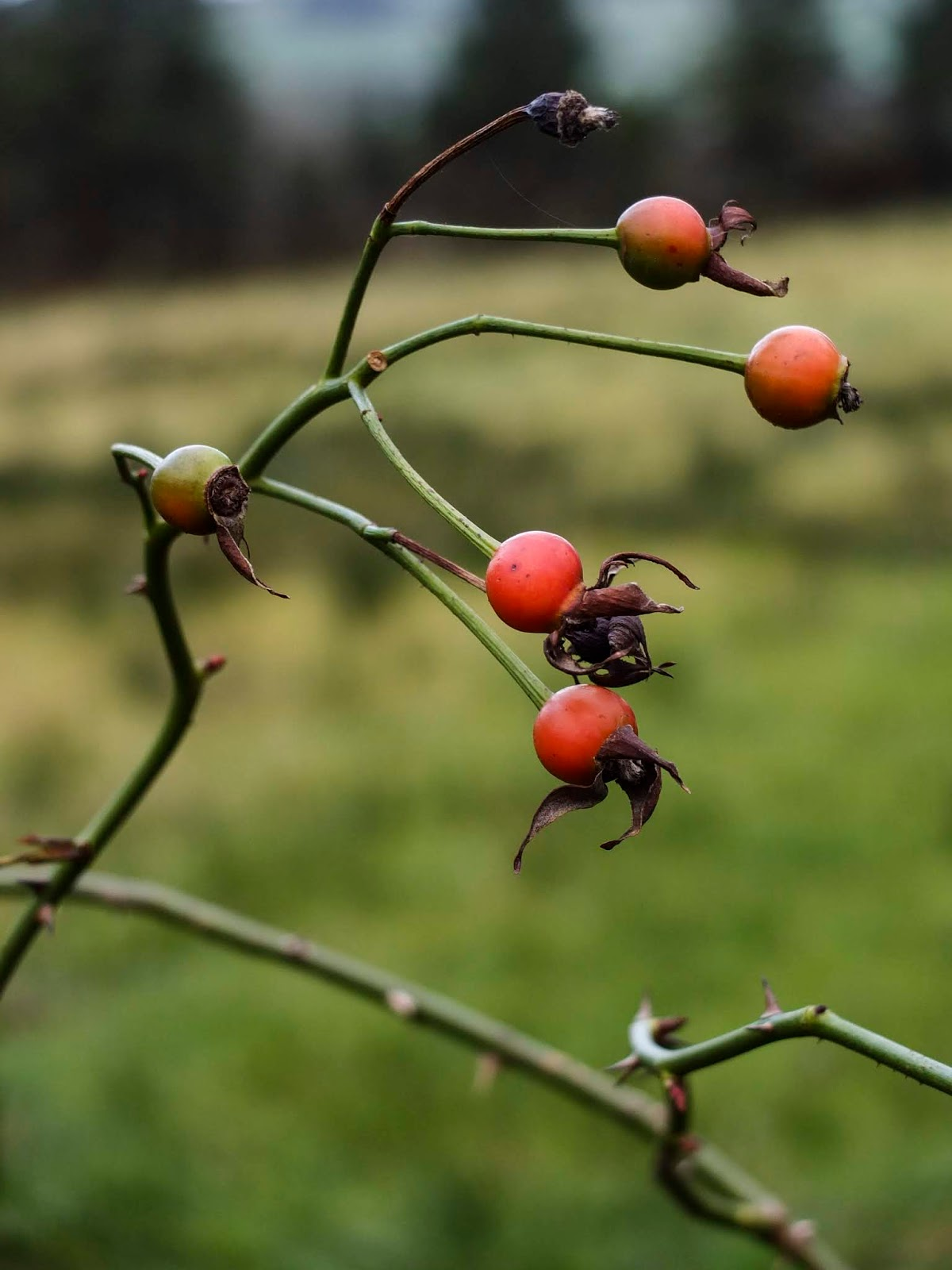Close up of rose hips at different stages of maturity.