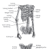 Gangguan dan Kelianan Pada SIstem Gerak, Macam-macam Gangguan Tulang, persendian, dan Otot