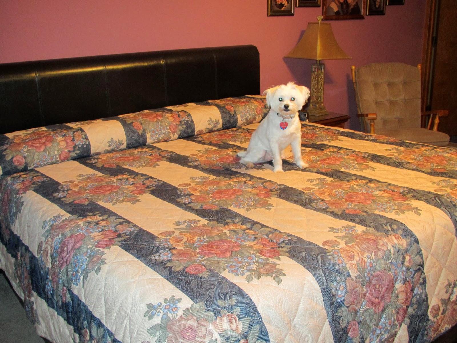 cão na cama box
