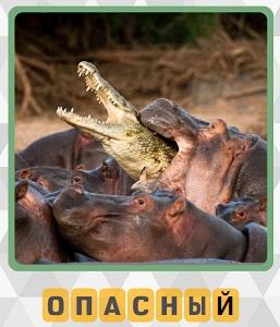 бегемот как опасное животное пытается есть пойманного крокодила
