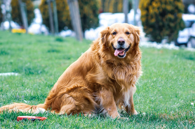 Golden Retriever facts