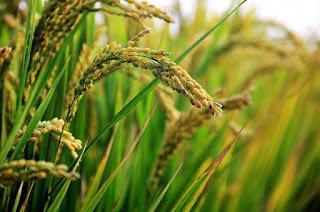 10 Contoh Tumbuhan Berkembang Biak Dengan Generatif