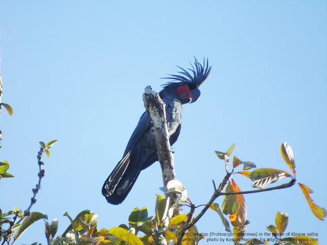 Palm Cockatoo or Kakaktua Raja (Probosciger aterrimus)