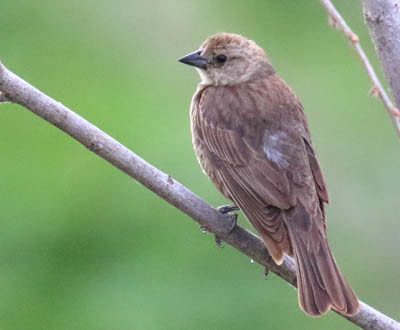 Photo of female Brown-headed Cowbird on tree branch
