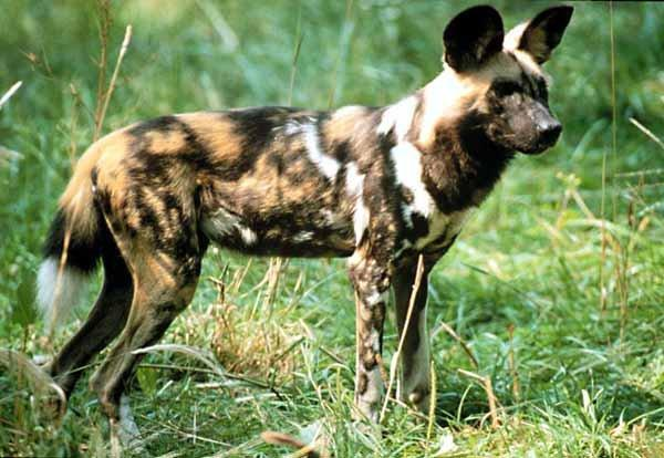 African Wild Dog Animal Wildlife