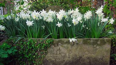 Narcissus 'Thalia', uno de los narcisos más apreciados por los jardineros ingleses