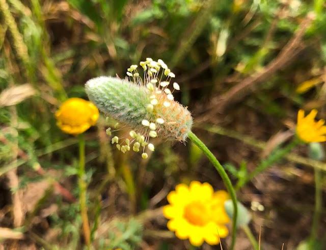 Lingua de ovelha (Ribwort Plantain)