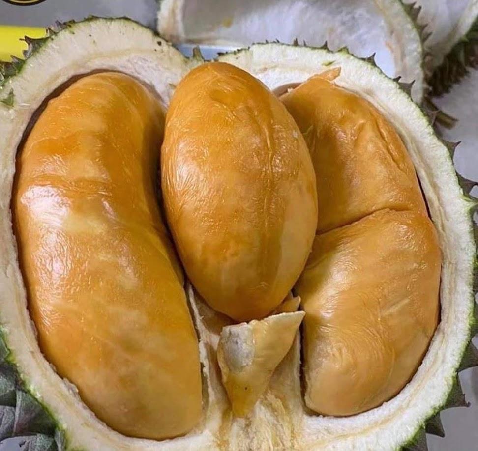 BIBIT DURIAN DURI HITAM Durian Ochee Palopo