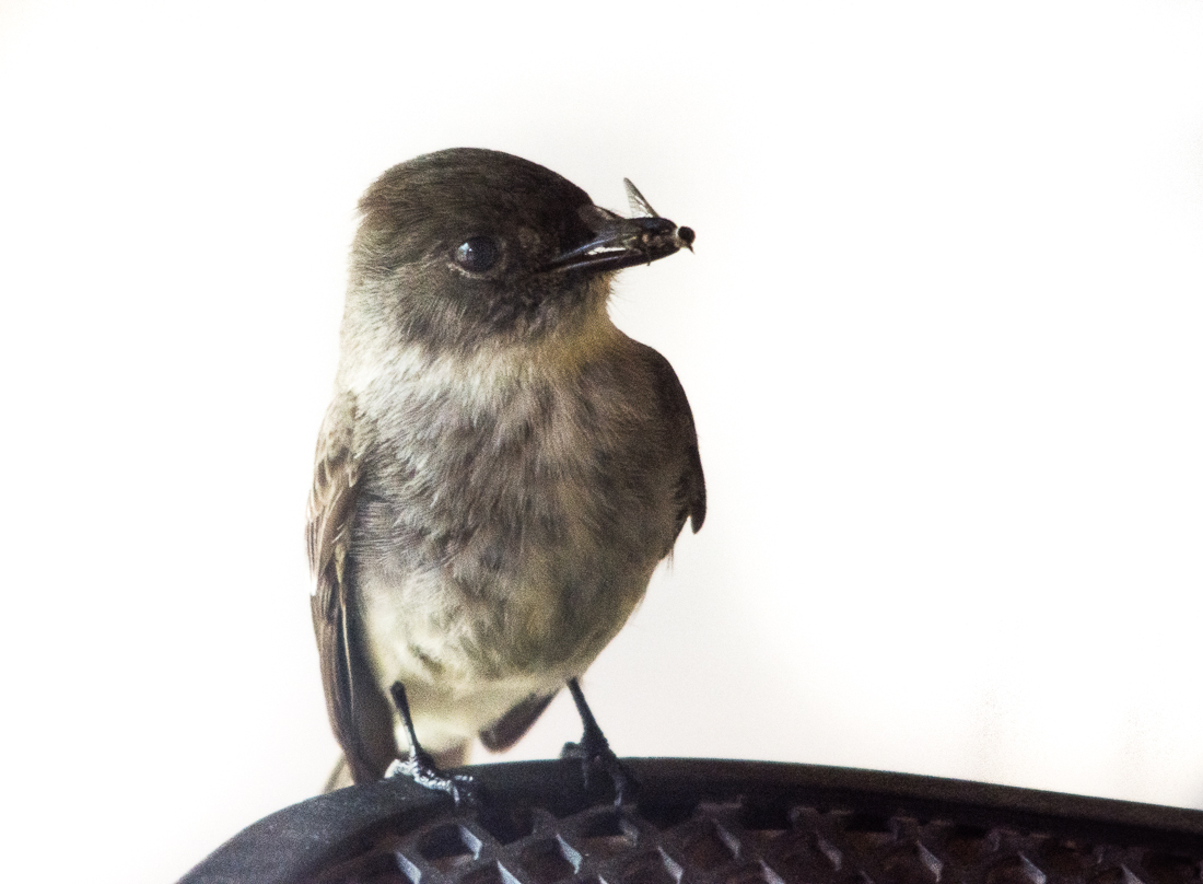 Eastern Phoebe with insect