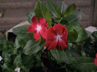 Red colored Madagascar Periwinkle flower