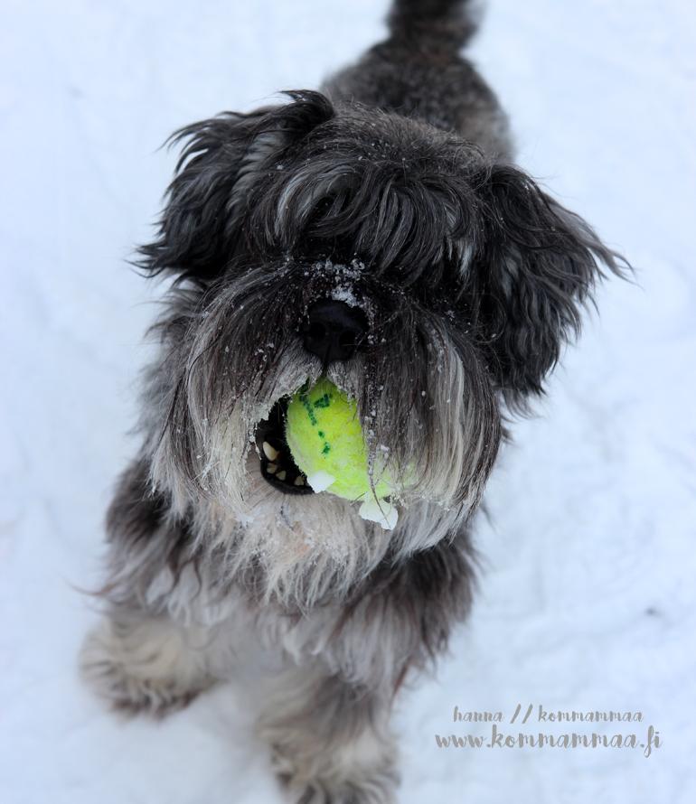 kääpiösnautserilla tennispallo suussa