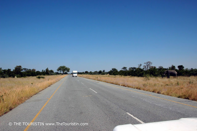 An elephant about to enter the highway between Kasane and Nata in Botswana