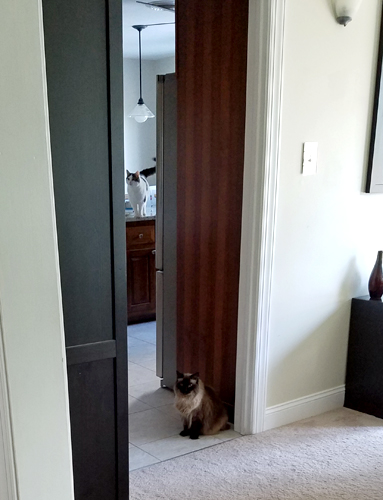 image of Matilda the Fuzzy Sealpoint Cat sitting in the doorway to the kitchen; just visible through the narrowest sliver between a shelf and the fridge is Olivia the White Farm Cat, standing on the kitchen island