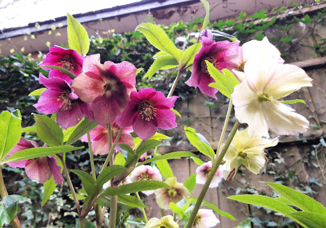 Image shows pink and white Hellebore flowers against a fence