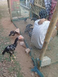 Tips sukses dan rahasia ternak ayam bangkok aduan