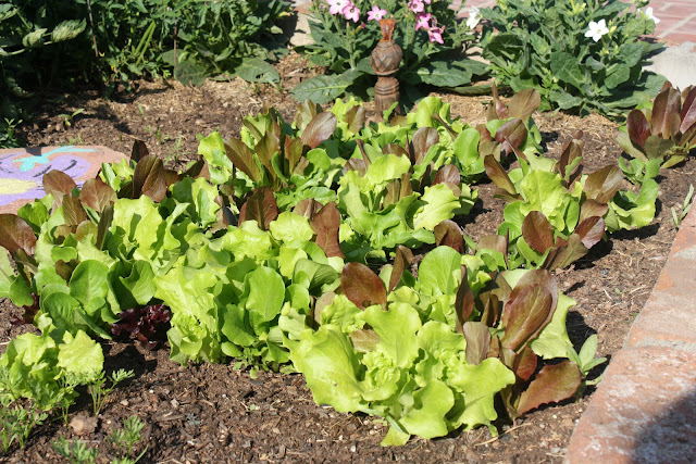 lettuce, garden lettuce