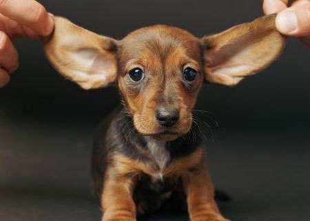 Cute Puppy Dogs Cute Dachshund Puppies