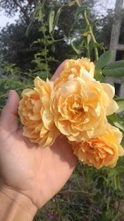 hoa hồng leo graham thomas
